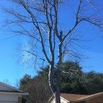 This upright tree is across the street from our house.