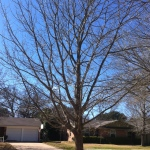 This is the white oak in our yard--the first to turn in the fall and the first to lose its leaves. It will also be among the first to bud--in just a few weeks. And, it will be exciting to see.
