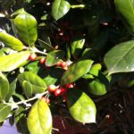 I like the red berries on the holly bushes.