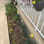 My daffodils are pretty ho-hum about blooming. But, a couple of them *do* put out a flower or two each year.