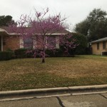 The redbud tree up the street is already showing its stuff.