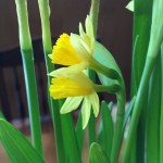I'd never seen this: two daffodil blooms in one bud.