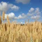 wheat_field_blue_sky_clouds_238740