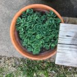 I've had this sedum for fifteen years. It ALWAYS comes back! My favorite kind of plant.