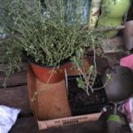 The thyme and the germander from the nursery