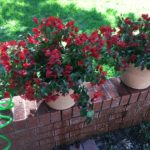 Lovely brick-colored bougainvillea