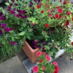 The cute red and purple flowers in their new home